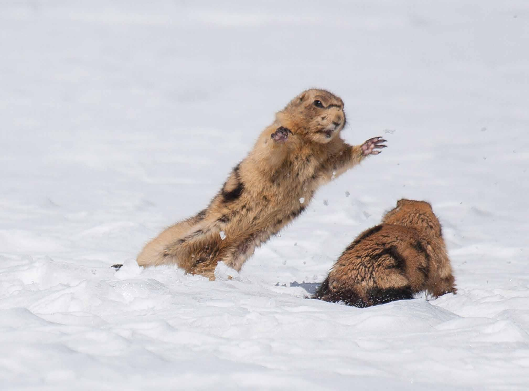 Professor John L Hoogland Prairie Dogs Are Charming And Cute But