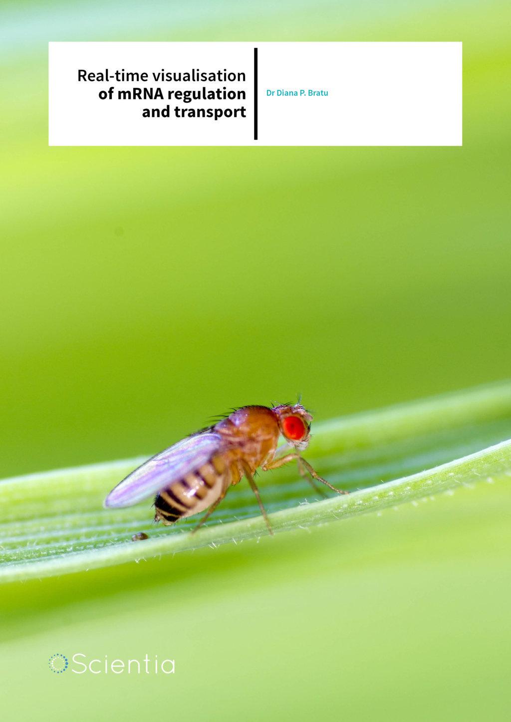 Dr Diana P. Bratu – Real-time Visualisation Of Mrna Regulation And Transport