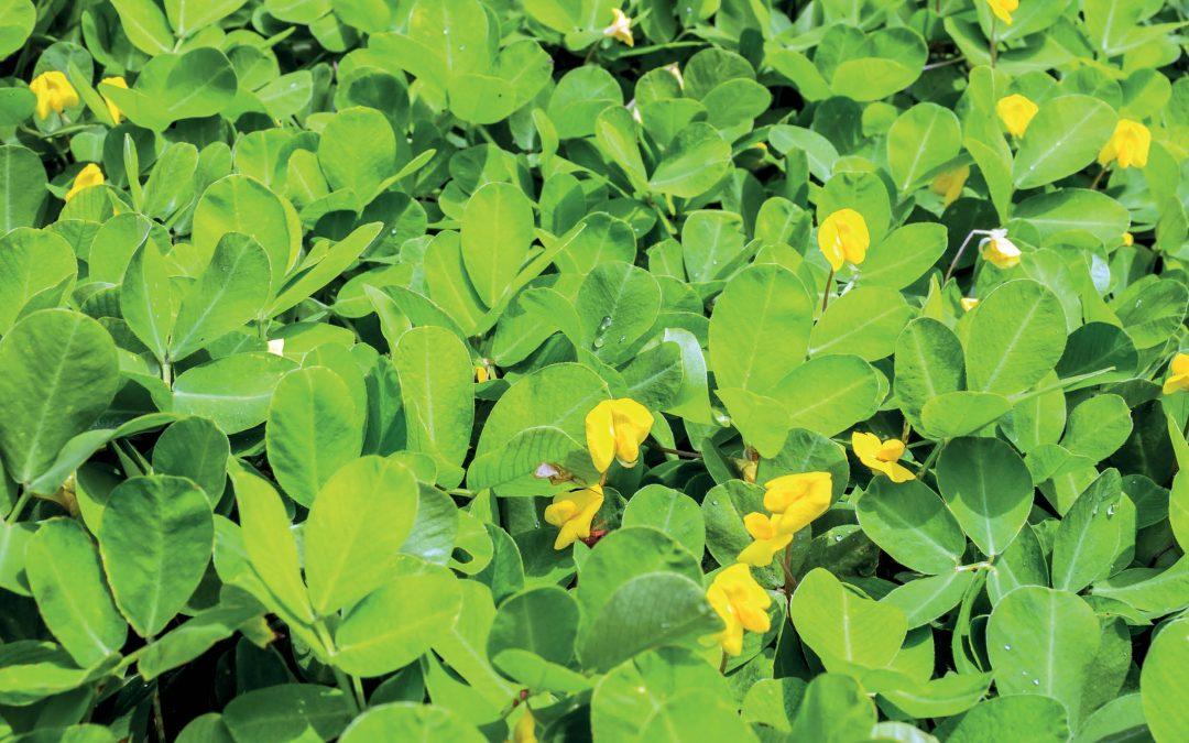 Dr Renée Arias | Dr Victor Sobolev | Dr Marshall Lamb – Ensuring Peanut Safety by Harnessing Plant Defences