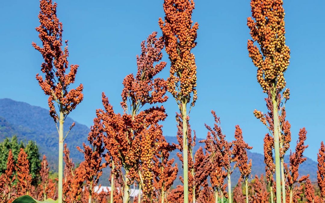 Dr Elizabeth A. Cooper – New Sorghum Reference Genome Highlights Genetics Underlying Sweet Varieties