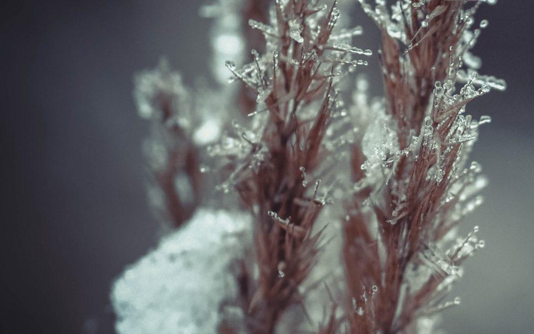 Dr David Livingston | Dr Michael Wisniewski – Sub-Zero Survival: Revealing How Plants Freeze