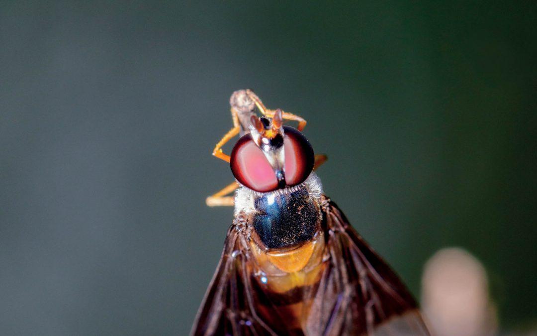 Dr Nicholas M. Teets – Advancing Genetic Control of Destructive Fruit Flies