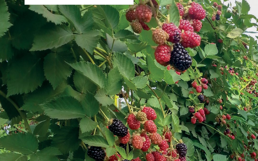 TunnelBerries: Enhancing the Sustainability of Berry Production